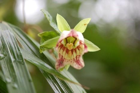 ツルニンジン花
